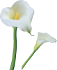 Easter Lillies thumbnail